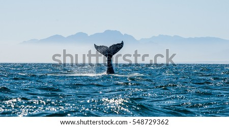 blue whale marine mammal blue whale is largest animal on earth stock photo © orensila