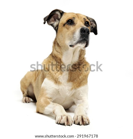 Stock photo: beautiful flying ears mixed breed dog looking into the camera in