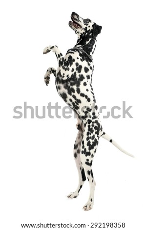 cute dalmatians stand up to two legs in white background photo s stock photo © vauvau
