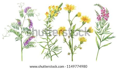 watercolor milk thistle  flowers set  isolated on white backgrou Stock photo © balasoiu