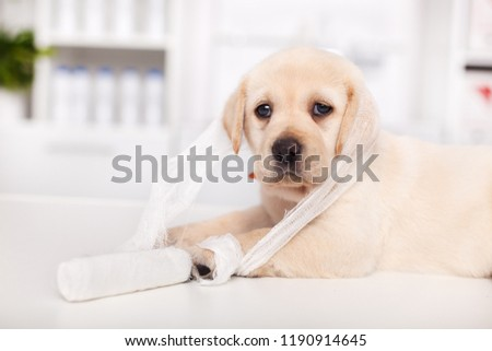 Labrador puppy tangled up in bandage material at the veterinary Stock photo © ilona75
