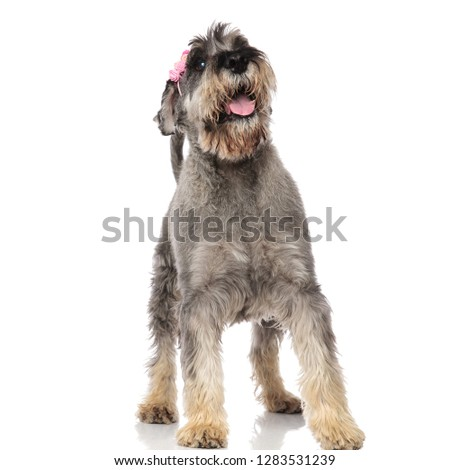 cute panting schnauzer with pink headband stands and looks up Stock photo © feedough