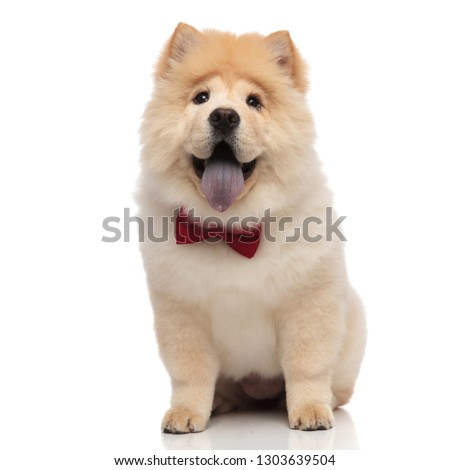 gentleman chow chow sitting and looking excited while panting Stock photo © feedough