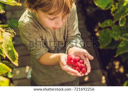 Child picking raspberry. Kids pick fresh fruit on organic raspberries farm. Children gardening and h Stock photo © galitskaya