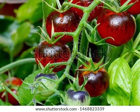 Fresh organic cherry tomatoes bunch closeup on black wet backgro Stock photo © marylooo