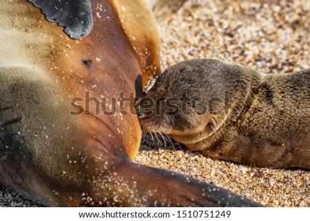 animais · selvagens · leão-marinho · amamentação - foto stock © maridav