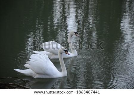hattyú · tó · család · tavasz · természet · szépség - stock fotó © zurijeta
