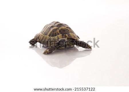 Greek land tortoise, Testudo Hermanni, shiny floor, white studio Stock photo © AvHeertum