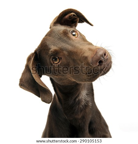 beautiful flying ears mixed breed dog turns his head in white st stock photo © vauvau