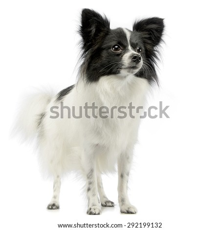 cute papillon standing in white photo studio stock photo © vauvau