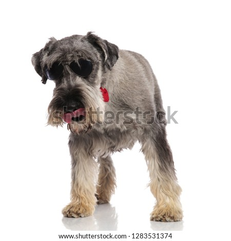 eager gentleman schnauzer with sunglasses looks down while stand Stock photo © feedough