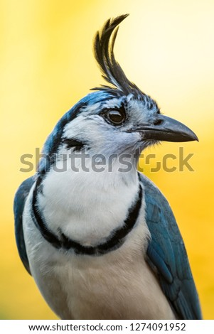 White throated magpie jay on the branch in the tropical forest Stock photo © Lopolo