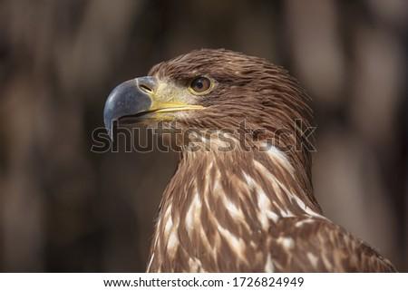 Portrait of brown head sea-eagle (haliaeetus leucogaster), close up of wild bird Stock photo © Burchenko