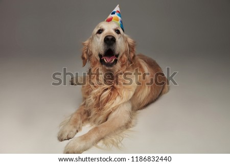 adorable labrador resting and panting after its birthday party Stock photo © feedough