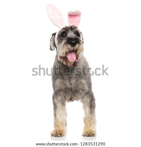 gentleman schnauzer wearing rabbit ears headband looks to side Stock photo © feedough