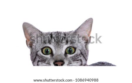 Head shot of green eyed silver spotted Egyptian Mau cat kitten looking over edge isolated on white b Stock photo © CatchyImages