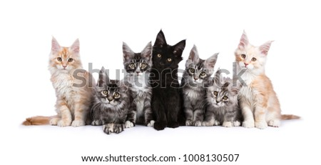 Row of seven Maine Coons facing camera isolated on white background Stock photo © CatchyImages
