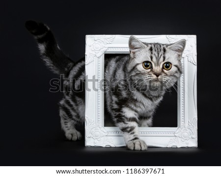 Amazing cute black silver tabby British Shorthair cat kitten isolated on black background  Stock photo © CatchyImages