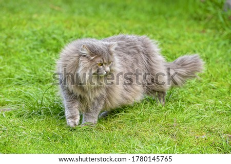 Cat in green summer grass outside in garden. Grey long hair Ragdoll with green eyes. Stock photo © Maridav