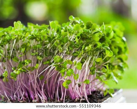 Gruppe frischen grüne Blätter Rettich Sämlinge wenig Stock foto © pressmaster