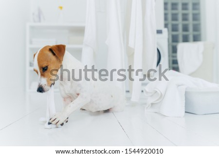 Horizontal shot of jack rusell terrier bites white linen while host is away, has much work in laundr Stock photo © vkstudio