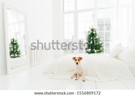 Foto jack russell terrier cão piso cama natal Foto stock © vkstudio