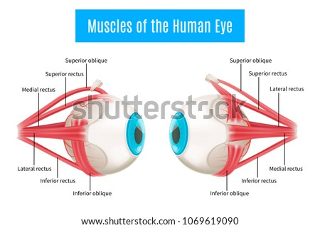 Eyeball muscles symbol. Eye anatomy in side view. Vector illustration in cartoon style isolated on w Stock photo © designer_things