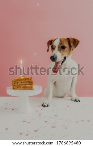 Home shot of jack russel terrier looks with appetite at sweet tasty birthday cake, celebrates one ye Stock photo © vkstudio