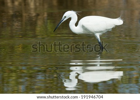 A white Western Reef Heron (Egretta gularis) searching for a dro Stock photo © davemontreuil