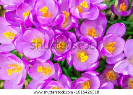paars · Geel · krokus · tuin · bloem · blad - stockfoto © alessandrozocc