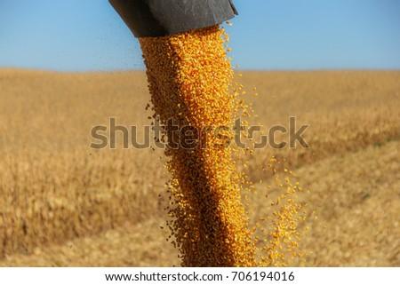 Combine harvester auger unloading harvested corn into tractor tr Stock photo © stevanovicigor