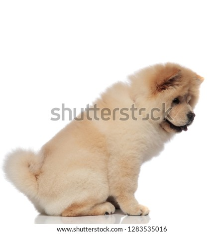 side view of seated chow-chow with tongue exposed looking down Stock photo © feedough