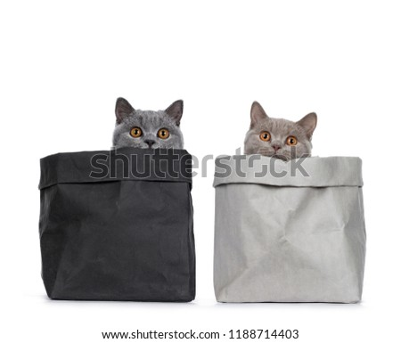 Stock photo: Young duo of excellent solid blue and cinnamon British Shorthair cats, isolated on white background
