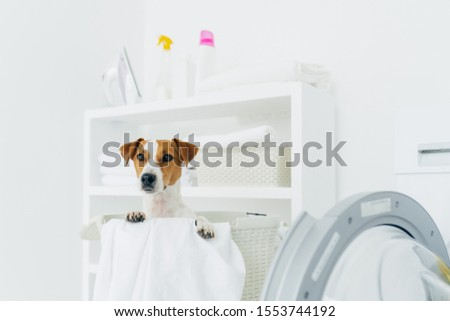 Indoor shot of pedigree dog in laundry basket, looks into distance, washing machine and console with Stock photo © vkstudio