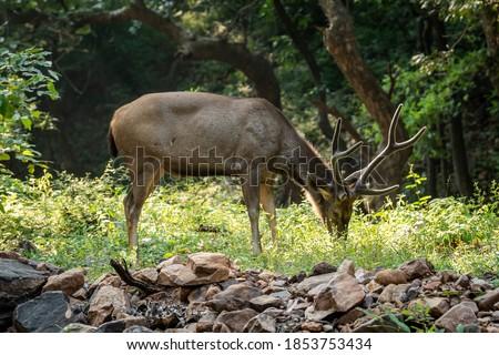 Parque grande veado nativo subcontinente indiano sul Foto stock © cookelma