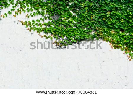 feuille · verte · usine · blanche · mur · belle · arbre - photo stock © rufous