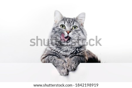 Portrait of a purebred striped cat pet and cat food on a gray ba stock photo © HASLOO