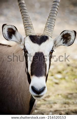 Gemsbok antelope (Oryx gazella) Stock photo © michaklootwijk