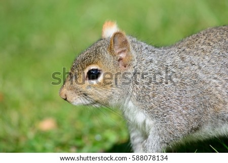 Close up of Grey Squirrel head and shoulders with green backround Stock photo © rekemp