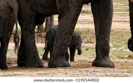 A young Elephant calf in between the legs of an adult Elephant. stock photo © simoneeman