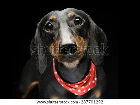 Stock photo:  Nice Shorthair Dachshund portrait in dark studio focus on eyes