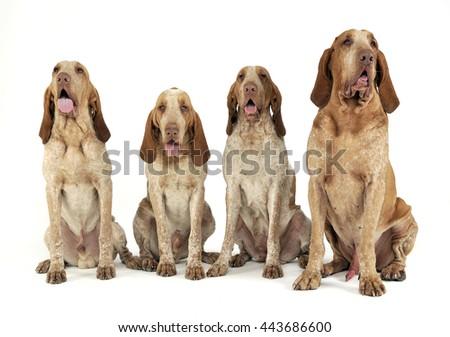 group of bracco italiano feeling good in a white photo studio stock photo © vauvau
