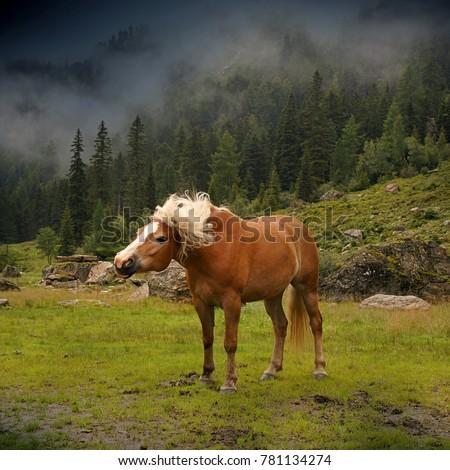 Beautiful haflinger horse in the Alps / mountains in Tirol Stock photo © michaklootwijk