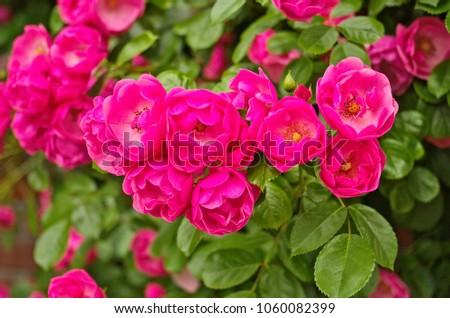 Belo profundo rosa flor fresco folhas verdes Foto stock © sarahdoow