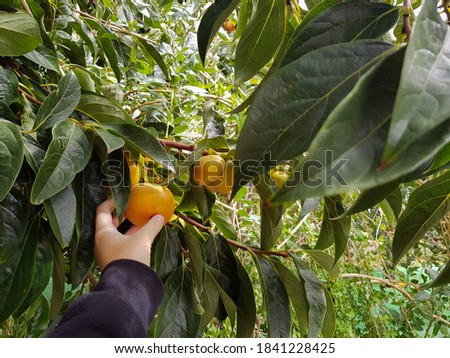 Persimmon in beautiful woman hands on a green background BANNER, long format Stock photo © galitskaya