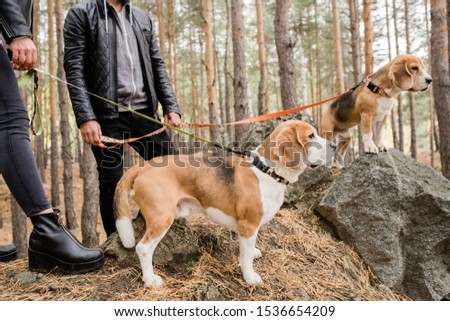 Two cute beagle puppies with handmade collars and leashes standing on stones Stock photo © pressmaster