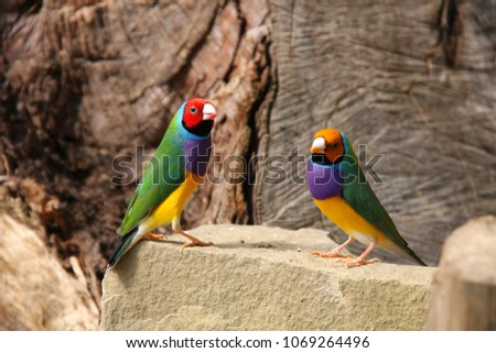 Red headed male Gouldian finch or Erythrura gouldiae bird seamless watercolor birds painting backgro Stock photo © shawlinmohd