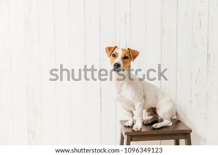 ジャックラッセルテリア 椅子 白 木製 壁 ストックフォト © vkstudio