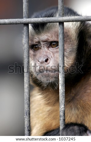 Close-up of a Hooded Capuchin Monkey contemplating life behind b Stock photo © cozyta