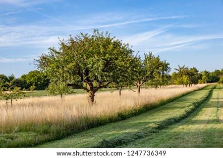 Güzel tipik elma ağacı çayır içmek gökyüzü Stok fotoğraf © meinzahn